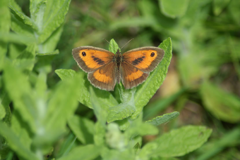 Meadow Brown Butterfly in Fleabane Furrow by Ross Troup