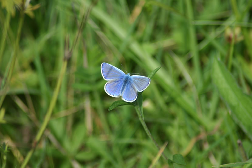 Common Blue Butterfly in Fleabane Furrow by Ross Troup