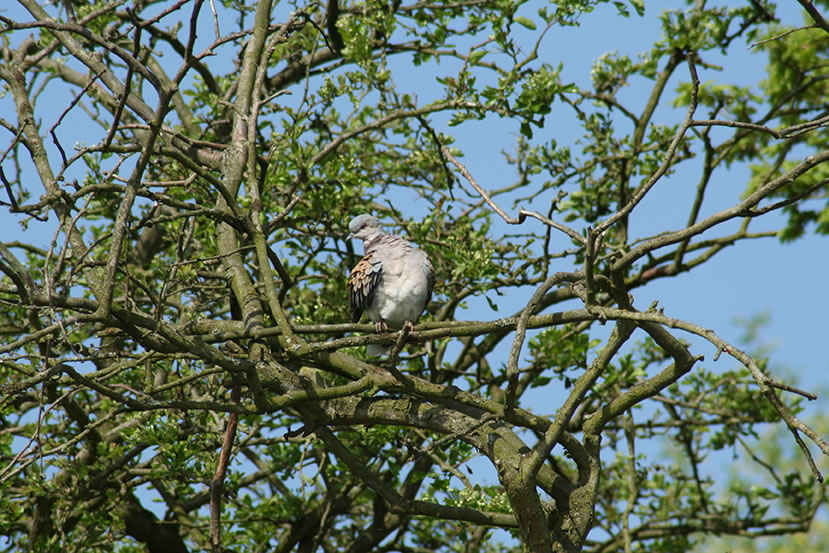 Turtle Dove Above Pond at White House Farm by Charlotte Daniel