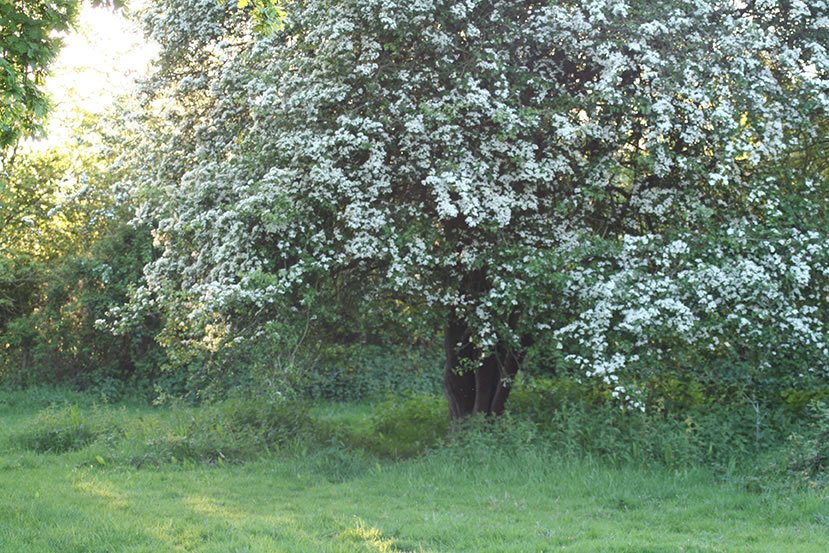 Hawthorn in Ley Meadow