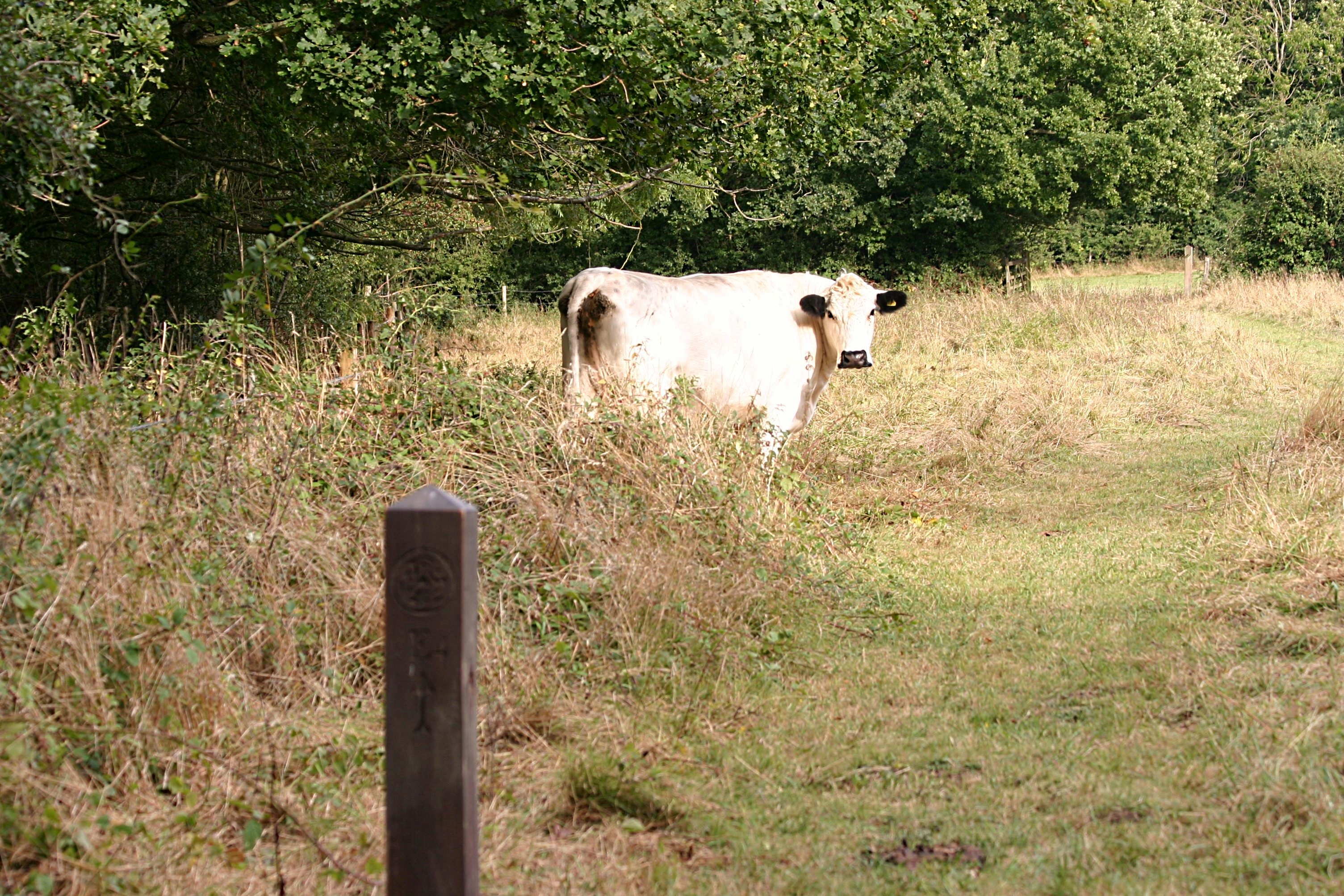 Meeting the cows on a weekend walk by Julie Kemp from Hasketon