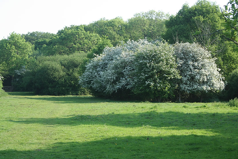 Hawthorn and Shadows in Ley Meadow
