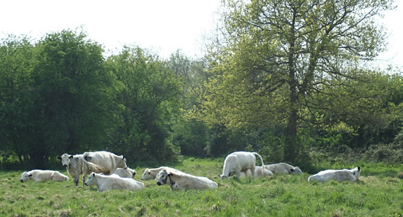British White cattle grazing in meadow